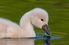 Eye of Innocence (Jamie Lenh Photography) Tags: nature wildlife birds swan muteswan nikon tamron cygnet spring ontario canada babyswan