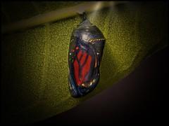 My Cosy Home (Marco Réardon Photography) Tags: closeup cocoon insect crysalid chrysalide monarch monarque butterfly papillon nature macrophotography macro marco reardon lumixg9 studio shot leaf feuille garden