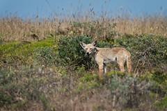 Coyote Pup (lennycarl08) Tags: animalplanet coyote wildlife pointreyesnationalseashore sony200600