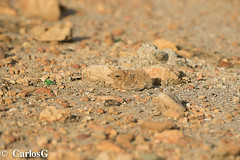 Querebebé, Antillean Nighthawk (Chordeiles gundlachii) (Gogolac) Tags: lcpreocupaciónmenor mmigratoriainvernante mcmigratoriainvernantecomún 2019 aves bird birdphotography birdie birds canon7dmii cimarronmayor fauna fotografiashechasjuantoatonyparra josemiguelpantaleon leastconcernlc location migratoriainvernantecomúnenrd migratoriainvernanteenrd montecristi park parquenacionaldemontecristi tonyparra year birdspot birdingrd birdsspotters republicadominicana tomadasenel2019