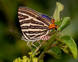 A Long-banded Silverline
