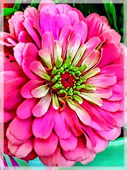 My zingin' zinnia! (Marcia Portess-Thanks for a million+ views.) Tags: plant paint multimedia photomanipulation digitalart elartedigital elarte art closeup macro green brightpink pink zinnia blossom fleur flor flower marciaportess marciaaportess map myzingin'zinnia