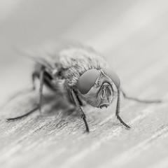 """fLy"" (sturewoldmo) Tags: bug fly insect macro macrophoto macrophotography canon canonphoto canonphotography canoneos eos eos750d canoneos750d sigma sigmalens sigma180mm monochrome monochromephoto monochromephotography blackandwhite blackandwhitephoto blackandwhitephotography bw bwphoto bwphotography bnw bnwphoto bnwphotography"