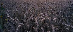 listening in the half light (Simon[L]) Tags: ears deepshade crowd corn wheat lowlight pentaxk 28mmf35