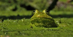 come on in, the duckweed's fine (don.white55 That's wild...) Tags: americanbullfroglithobatescatesbeianus donpwhitephotography canoneos70d tamronsp150600mmf563divcusda011 frog amphibian nature wildlife duckweed lens naturephotographer 150600mmlens tamron150600mm canon donwhite harrisburgpennsylvania green lowangle frogeyes bigeyes marsh muck mossy slime lunagallery