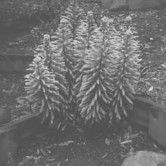 I was too close to the plant, so it is out-of-focus (Matthew Paul Argall) Tags: 120film 120 mediumformat ilforddelta100 100isofilm blackandwhite blackandwhitefilm squareformat squarephoto plant plants outoffocus