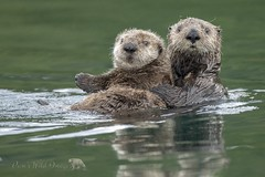 In A Sea Of Green (PamsWildImages) Tags: cute pamswildimages canada wildlife nature green ocean seaotters