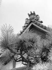 Shrine Pine (RunnyInHongKong) Tags: hc110solutionb mediumformat film akasaka chuzenji opticfilm120 japan mamiya645protl rolleiretro400s selfdevelop blackwhite minatoku vuescan mamiyasekor110mmf28 tokyo 6x45