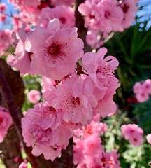 Spring is in the air (The Pocket Rocket) Tags: blossom oceangrove victoria australia 100flowers2019 image52100