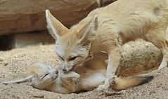 fennec artis 094A0084 (j.a.kok) Tags: animal artis africa mammal motherandchild moederenkind zoogdier dier fox fennek fennec fennecfoxfennecuszerdavulpeszerdavulpes vos dessertfox woestijnvos
