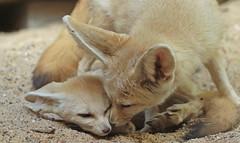 fennec artis 094A0081 (j.a.kok) Tags: animal artis africa mammal motherandchild moederenkind zoogdier dier fox fennek fennec fennecfoxfennecuszerdavulpeszerdavulpes vos dessertfox woestijnvos