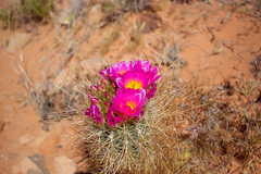 Flower on Trail in Page, Arizona (danmcgrotty) Tags: flower page arizona canon t6 succulent dessert red rocks sky blue orange pink