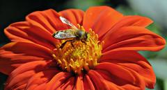 Honey bee on Mexican sunflower (TJ Gehling) Tags: insect hymenoptera bee apidae honeybee westernhoneybee apis apismellifera plant flower asterales asteraceae sunflower mexicansunflower tithonia tithoniadiversifolia richmondca