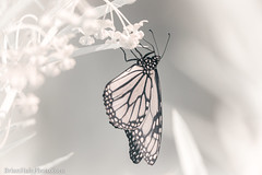 Monarch dangling in infrared light (Brian M Hale) Tags: butterfly ir infrared 720nm kolarivision kolari vision insect outside outdoors nature tower hill botanic botanical garden boylston ma mass massachusetts newengland usa brian hale brianhalephoto