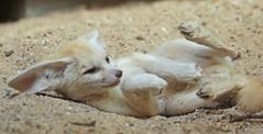 fennec artis 094A0093 (j.a.kok) Tags: animal artis africa mammal motherandchild moederenkind zoogdier dier fox fennek fennec fennecfoxfennecuszerdavulpeszerdavulpes vos dessertfox woestijnvos