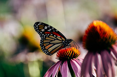 Butterfly on Echinacea (spablab) Tags: chicago nikon nikkor echinachea 55200mm d7000 flowers insect butterfly monarch