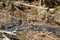 Melanistic female adder. (ChristianMoss) Tags: vipera berus snake adder black reptile melanistic