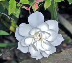 Garden rose... (Jane Lazarz Nature Photography) Tags: coastalcalifornia photoart natureasart huntingtonbeachca flowers whiterose rose gardenrose janelazarz
