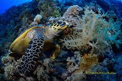 Naptime (kayak_no1) Tags: nikon d800e nauticamhousing 15mmsigmafisheye fisheye ysd1 underwater underwaterphotography wa wideangle diving scubadiving uw reasea outside water nature blue green sea landscape shipwreck turtle