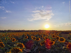 Sunflowers at Gieringers Family Orchard, 16 Aug 2019 (photography.by.ROEVER) Tags: kansas johnsoncounty joco kcmetro kansascitymetro edgerton orchard farm familyorchard familyfarm berryfarm gieringersfamilyorchardberryfarm sunflower sunflowers sunflowerfield sunflowerfields fields agriculture farming country rural countryside outdoors summer summer2019 august 2019 august2019 evening beforesunset color colour colors colours gieringerssunflowerfest usa