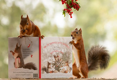 red squirrel holding a christmas squirrel book (Geert Weggen) Tags: animal squirrel art artandcraft artist book easel horizontal mammal nature paintbrush paintedimage painting photography plant red reliefemotion rodent sunlight taillight read text howthesquirrelssavedchristm 2019 bispgården jämtland sweden howthesquirrelssavedchristmas