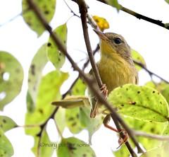 Common Yellowthroat (Mary Sonis) Tags: bird warbler yellowthroat wildlife carolina migration