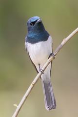 Leaden Flycatcher (M) (strictfunctor) Tags: aves leadenflycatcher monarchidae myiagrarubecula passeriformes bird passerine perchingbird songbird queensland australia