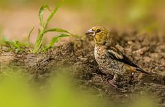 Hawfinch female (hardy-gjK) Tags: