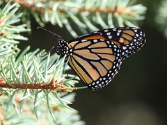 Monarch Butterfly (Janet Tubb) Tags: butterfly insect monarch nature skedrcanon skedrnature oshawa ontario canada