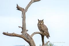If Looks Could Kill (playful_i) Tags: asdm greathornedowl museum birds limb owl perch predator raptor tree desert arizonasonoradesertmuseum