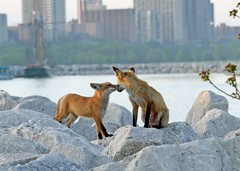 Love In The City (marylee.agnew) Tags: vulpes red fox kiss city love animal urban nature young beauty lake rocks outdoor wildlife