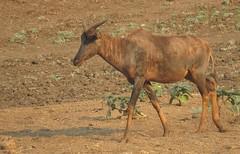 Tsessebe (Pixi2011) Tags: antelope wildlife wildlifeafrica krugernationalpark southafrica africa