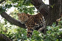 Amur Leopard (mellting) Tags: djurparker eskilstuna nikond500 parkenzoo platser sigma1506005063sport bloggad flickr instagram matsellting mellting nikon sverige sweden amurleopard pantherapardusorientalis leopard bigcat zoo animal mammal