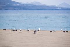 13072019-DSCF1913-2 (Ringela) Tags: animals birds las canteras juli 2019 palmas fujifilm xt1 gran canaria spain