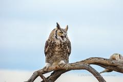 Single Occupancy Tree (playful_i) Tags: asdm greathornedowl museum birds limb owl perch predator raptor tree arizonasonora desert
