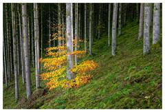 Alone in the crowd (P_Hibon) Tags: ardennen bomen bos gras groen kleuren landschap oranje dennen belgië herfst ardennes trees forrest wood grass green colors landscape orange pine belgium autumn