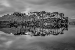 Pine Island (tolle13) Tags: ireland connemara galway clifden pines trees island mono bw