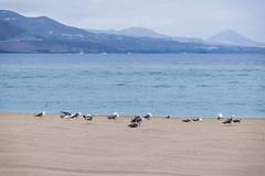 13072019-DSCF1912-2 (Ringela) Tags: animals birds las canteras juli 2019 palmas fujifilm xt1 gran canaria spain