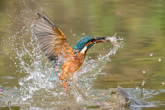 Kingfisher (Alcedo atthis) - Success 500_2119a.jpg (Mobile Lynn) Tags: birds wild kingfishersrelatives kingfisher nature alcedoatthis aves bird chordata coraciiformes fauna wildlife otterbourne england unitedkingdom coth specanimal coth5 ngc npc