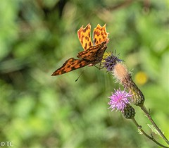 Gehakkelde aurelia/Comma butterfly (truus1949) Tags: vlinder distel natuur zomer