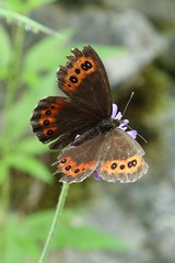 Erebia ligea - Arran brown - Boserebia (Bad Hindelang, Germany) (Christian van de Ven) Tags: butterfly mariposa schmetterling erebia vlinder