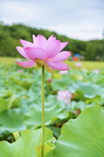 Lotus@Jinji Lake Suzhou