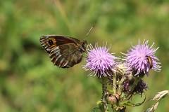 Erebia aethiops - Scotch argus - Zomererebia (Bad Hindelang, Germany) (Christian van de Ven) Tags: vlinder papillon erebia mariposa schmetterling