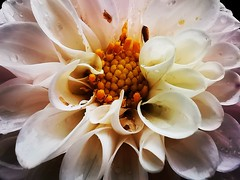 Raindrops on a White Dahlia (janettehall532) Tags: raindrops whitedahlia white dahlia dahliaflower naturephotography nature beautiful flower summerflower centreofaflower flowerhead macroflowers summerflowers flowersandcolours gardenflower gardenflowers flowerphotography macroflower flowerpetals floral bloom blooming macro macrophotography botany botanical colours closeupphotography closeupshot huaweip30pro huawei flickr flickrcentral picture pic