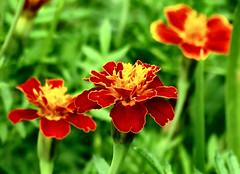 schönes Wochenende !!! (karin_b1966) Tags: blume flower blüte blossom pflanze plant garten garden natur nature 2019 tagetes studentenblume yourbestoftoday
