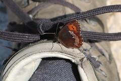 Erebia euryale - Large ringlet - Grote erebia (Oberjoch, Germany) (Christian van de Ven) Tags: vlinder schmetterling butterfly mariposa papillon erebia