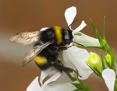 Bee (kunstschieter) Tags: smileonsaturday beeautiful