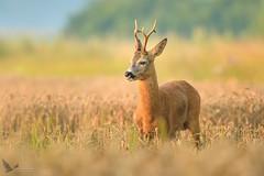 Koziołek, Roe (Capreolus capreolus) ... (Rafal Szozda) Tags: roe animals nature wildlife colors meadow sunrise nikon nikkor lens lubuskie poland