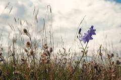 Lila Blüte (Sylsine) Tags: deutschland hattstedtermarsch nordfriesland nordstrand pflanzen schleswigholstein beltringharderkoog landschaft natur