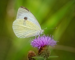 Cabbage white (Roland B43) Tags: butterfly vlinder papillon koolwitje